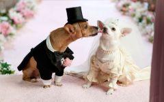 Чихуахуа - жених и невеста