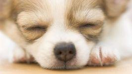 Спящий чихуахуа