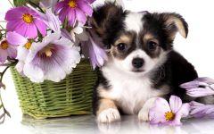 Прелестный щенок чихуахуа