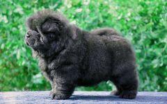 Черный щенок чау-чау