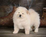 Симпатичный щенок чау-чау фото
