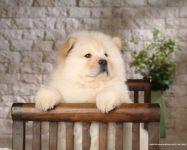 Купить щенка чау чау