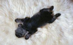 Спящий щенок цвергшнауцера