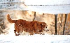 Ховаварт гуляющий по снегу