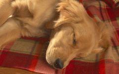 Спящий щенок ховаварта