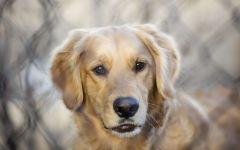 Пес ховаварт