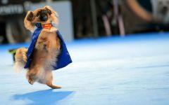 Японский хин - супер-собака