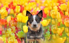 Хилер среди тюльпанов