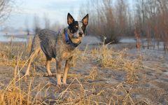Собака австралийский хилер