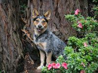 Порода собак австралийский хилер