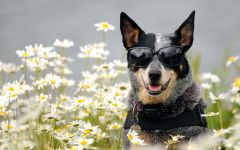 Австралийский хилер в очках