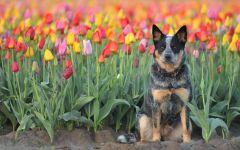 Австралийский хилер среди тюльпанов