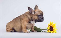 Палевый щенок французского бульдога