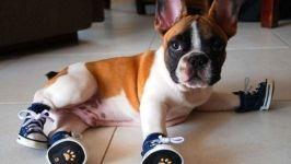 Щенок французского бульдога в ботиночках