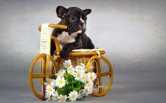 Симпатичный щенок французского бульдога
