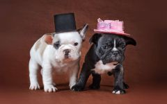 Красивые щенки французского бульдога