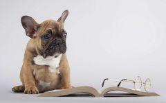 Щенок французского бульдога и книга
