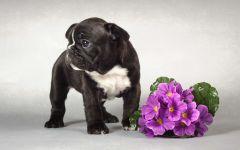 Щенок французского бульдога и цветы