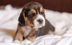Маленький щенок фоксхаунда