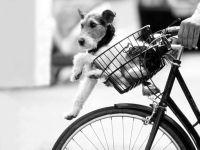 Фокстерьер катается на велосипеде