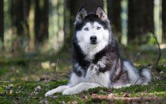 Финская оленегонная собака