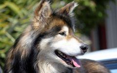 Финская лопарская собака