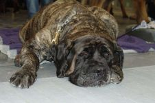 Порода собак фила бразилейро