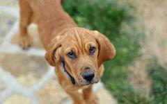 Рыжий щенок фила-бразилейро