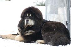 Черно-подпалый тибетский мастиф