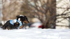 Длинношерстная такса бежит по снегу