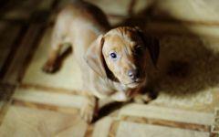 Маленький щенок таксы