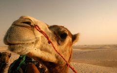 Голова верблюда на фоне пустыни