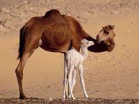 Верблюдица с белым верблюжонком