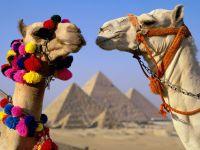 Головы двух верблюдов на фоне пирамид фото обои
