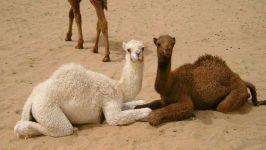 Два верблюжонка фото обои