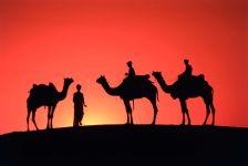 Три верблюда на фоне красного заката фото обои