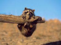Енот-полоскун, висящий на стволе дерева