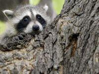 Енот, спрятавшийся за деревом
