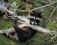 Молодой енот на ветвях дерева фото обои