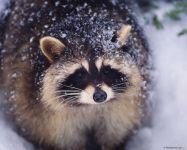 Енот полоскун на снегу фото обои