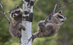 Молодые еноты, играющие на дереве
