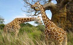Два жирафа около дерева