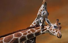 Головы жирафов