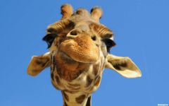 Голова жирафа, смотрящего сверху