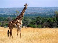 По саванне изысканный бродит жираф