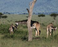 Маленькие жирафы