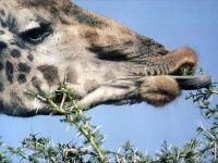 Синий язык жирафа