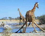 Раскорячившиеся жирафы на водопое