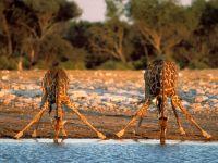 Жирафы пьют воду. Намибия