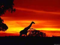 Жираф в лучах заката